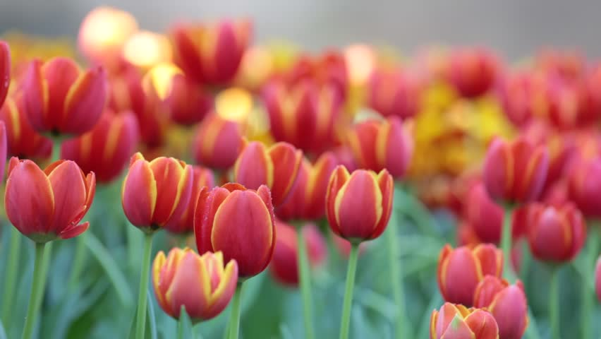 Red fresh beautiful Tulip, famous Netherlands' flower in garden with vibrant color flower outdoor swaying by the wind and watering as foggy.