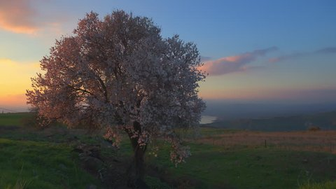 Right pan day to night timelapse of an  Almond tree in full bloom in the Golan Heights