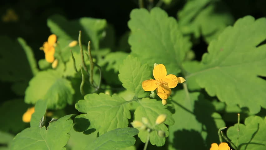 Celandine yellow flowers between green leaves in bright sunlight