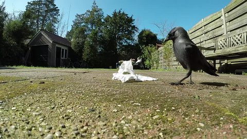 Jackdaw collecting nest material. Behaviour of a Jackdaw in a garden.