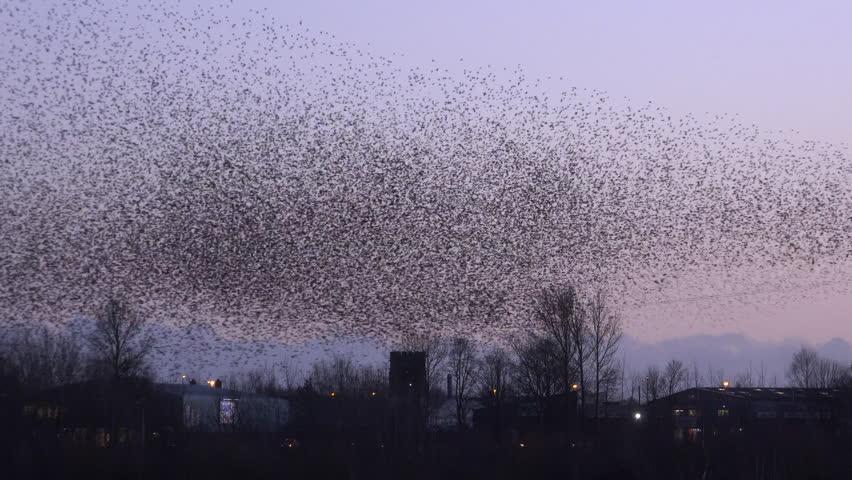 Starlings in the sunset 4k | Shutterstock HD Video #1008308410