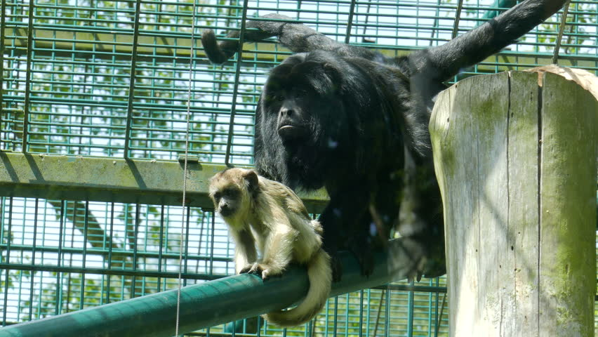 Header of Alouatta caraya
