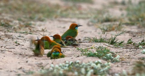 Video 4K of Group Green bee-eater a playing Dust in the ground