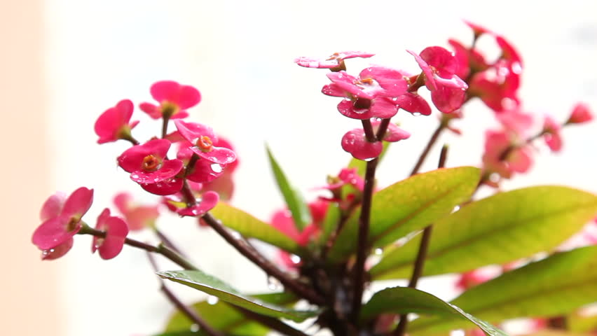 Euphorbia milii, crown of thorns, plant of Christ, thorn of Christ, small red flowers with stem with thorns moved by the wind and caught with drops of recent rain.