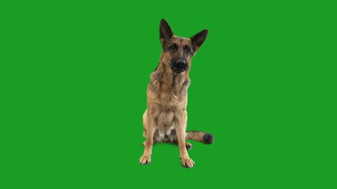 German Shepherd is barking on the green screen