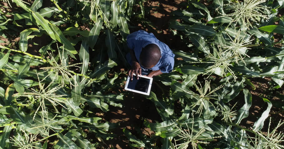 4K aerial view directly above a black african farmer monitoring his corn crop with a tablet | Shutterstock HD Video #1008455500