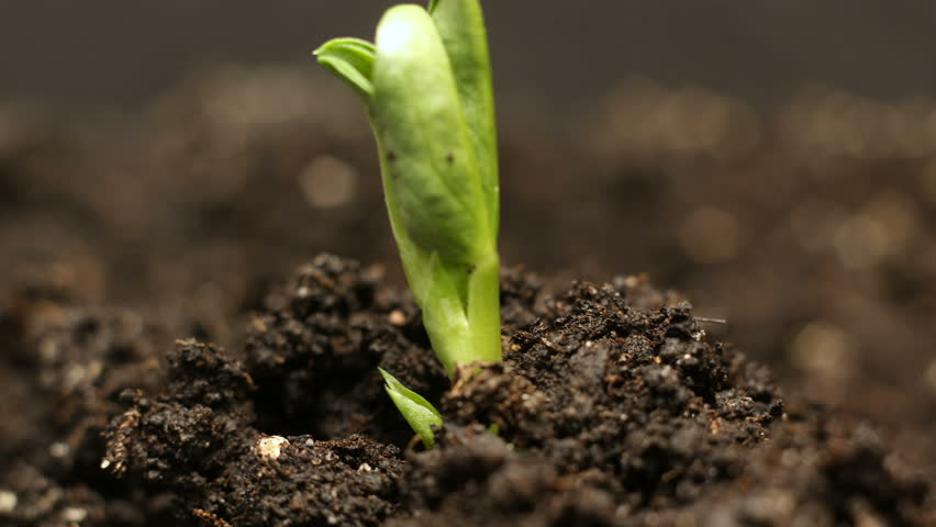 Growing green bean plant. Timelapse growing, Closeup nature shoot. | Shutterstock HD Video #1008489880