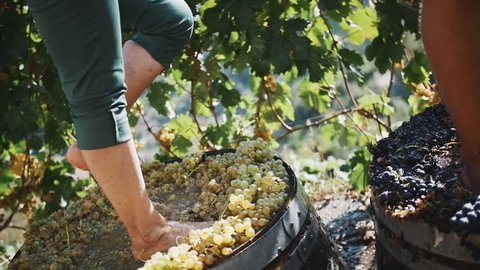 Male legs stomping white grapes in wooden shaft at winery making wine, close up sunny summer day outdoors