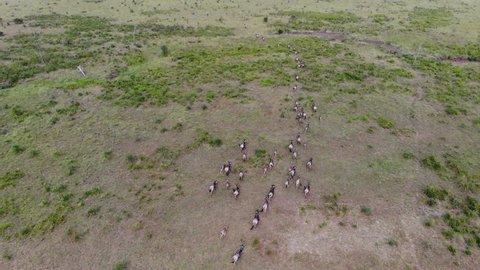 AERIAL view of running Wildebeest Herd Migration through the savannas of Tanzania, Africa.