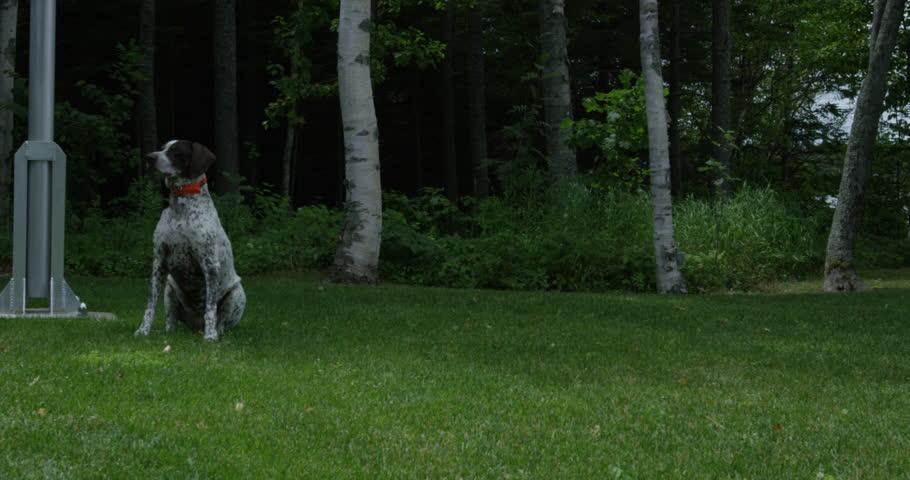 Happy Dog prances when bone in thrown in grass - slow motion #1008554770