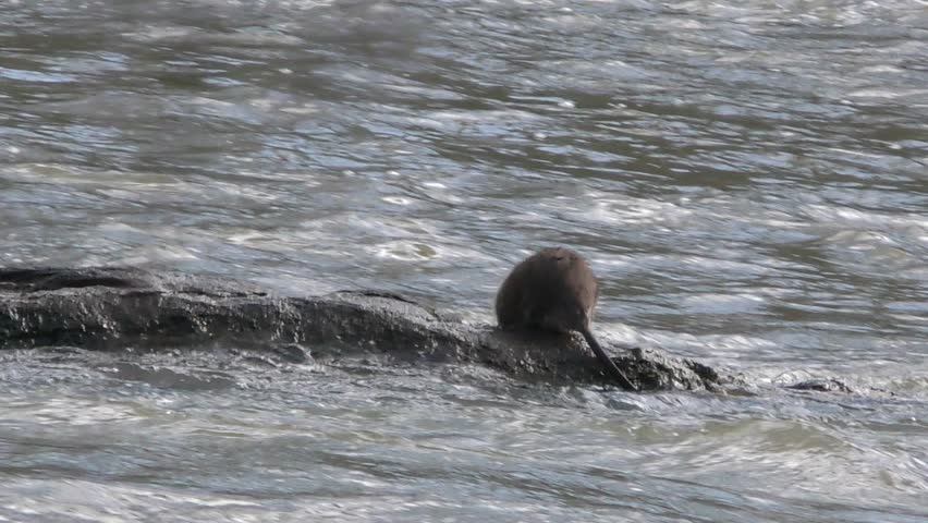 Muskrats on a rock on the Chattahoochee River.  In one, the muskrat dive into the river (in slow motion) and the other one he has his backside to the camera.