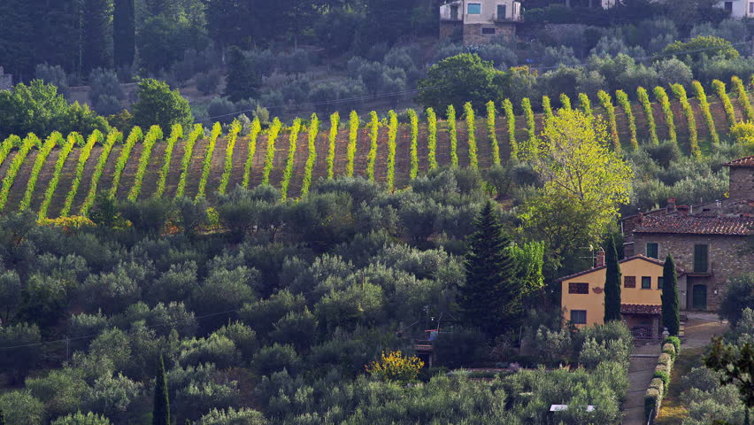 A panning shot of a farm house and grapes growing on vines in a Tuscan Vineyard with a view of the Italian Countryside in the distance.