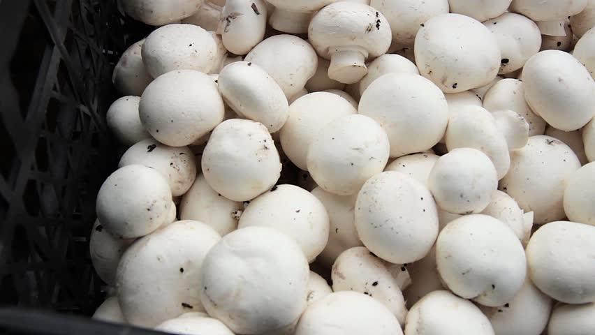 white champignon mushrooms harvest. many champignon mushrooms