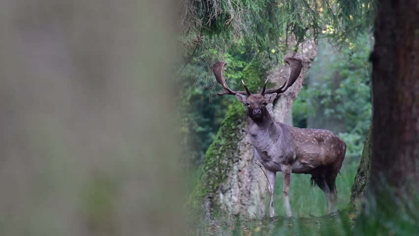 Fallow buck is looking in the forest, mating time, autumn, (dama dama) #1008661180