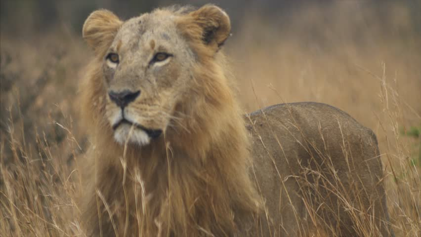 Male lion stands with attention and looks for prey. #1008675970