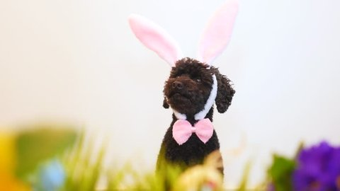 Funny little dog (poodle) wearing Easter bunny ears