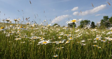 white daisy, marguerite flowers in meadow