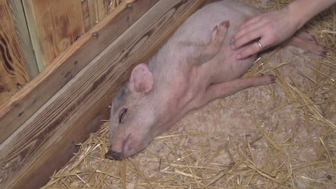 A female hand strokes a little cute little pig lying in a stable and having fun