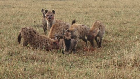 Hyenas hunting a wildebeest in a group.