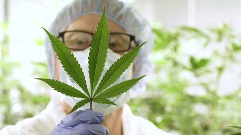Man examining Marijuana plant leaf.