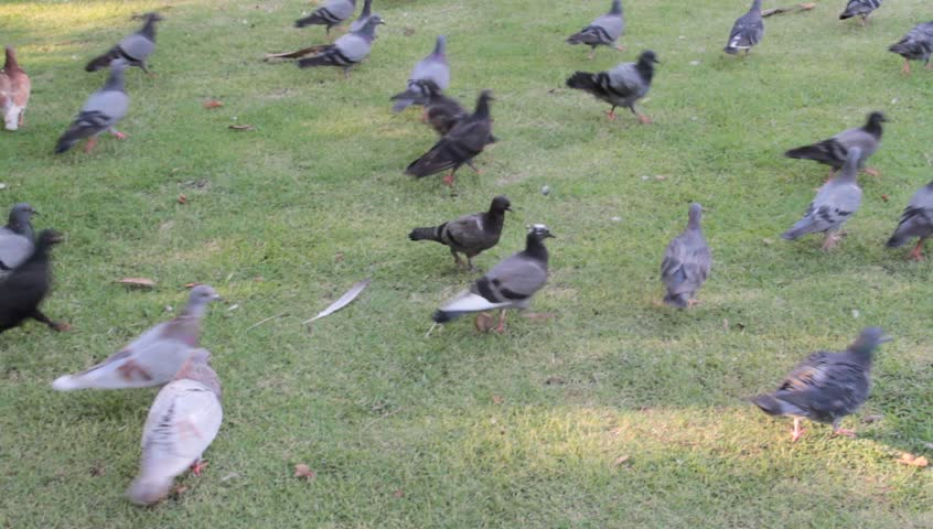 Many pigeons are moving and standing and flying on the floor and the green grass in the park. | Shutterstock HD Video #1008825950