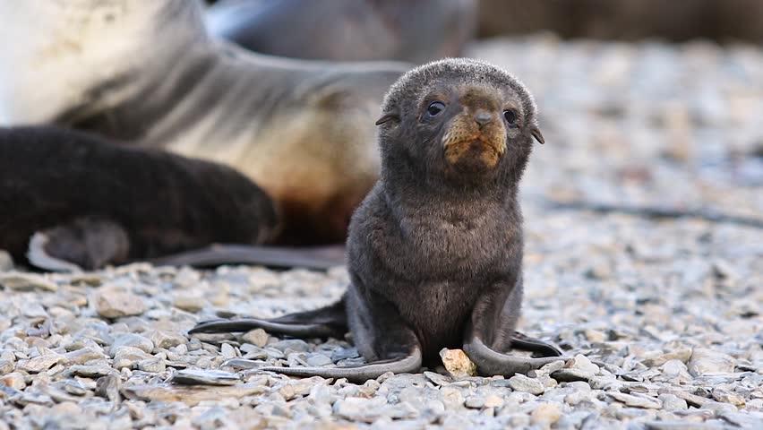 Little Fur seal