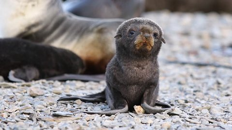 Little Fur seal