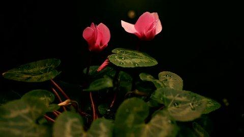 Timelapse of cyclamen flower blooming