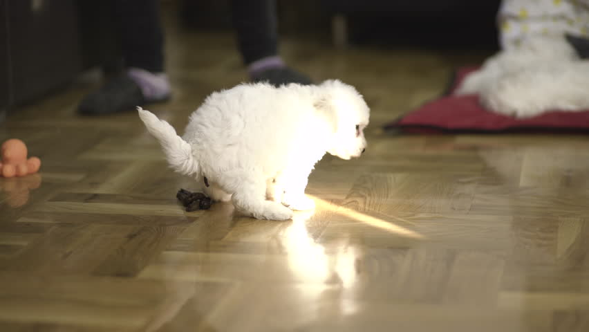 Bichon baby dogs at home. One white puppy shitting on parquet in the room and female owner cleaning dog shit from floor. Interesting interior scene with little pet in action, funny situation.