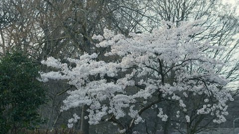 White Blooming Tree. England