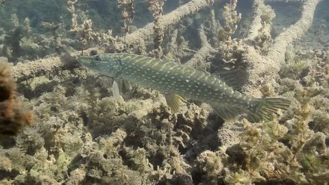 Freshwater fish Northern pike (Esox lucius) in the beautiful clean pound. Underwater footage with nice bacground and natural light. Wild life animal. Swimming predator fish in the sun.