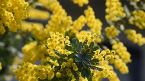 500 Yellow Mimosa Flower Stock Video Clips And Footage Royalty