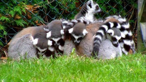 group of ring tailed Lemurs huddled together at a zoo