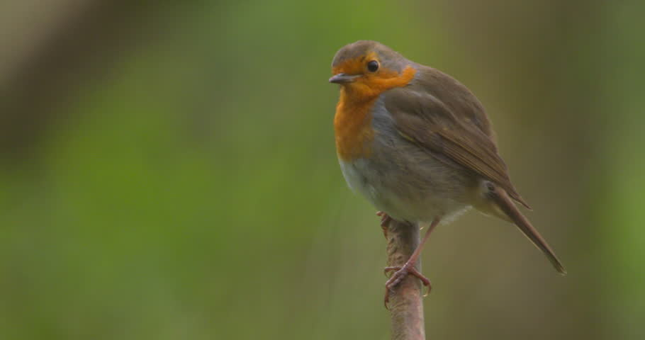 Robin bird perched on tree branch green background slow motion | Shutterstock HD Video #1009124270