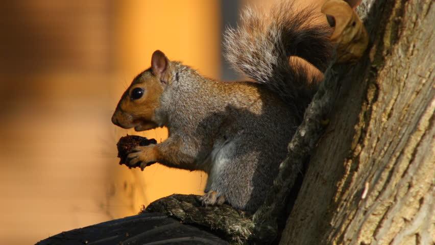 Sciurus carolinensis, or grey squirrel, eating a walnut. Close up.