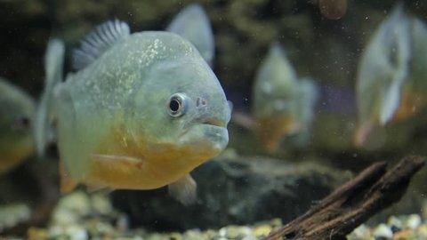 A school of piranha swimming in the aquarium