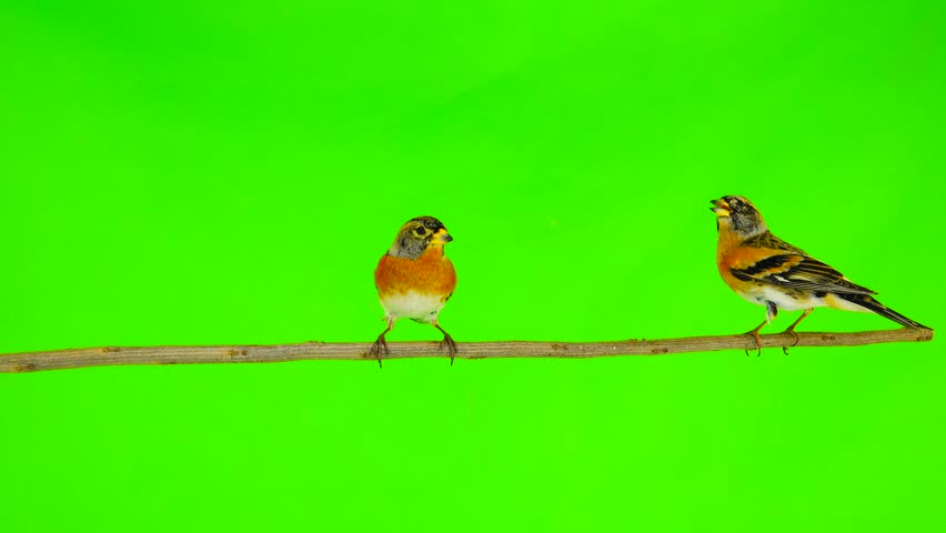 two Brambling (Fringilla montifringilla) sits on a branch isolated on a green screen