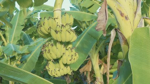 Bananas growing on tree at bananas plantation with moving camera in slow motion