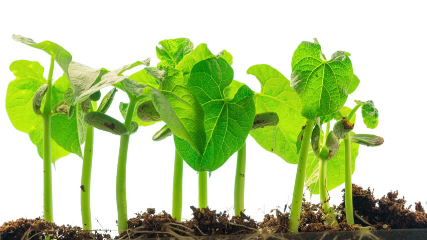 bean plant growth Free essay: effect of sugar on bean plant growth abstract the objective: my project was to determine if bean plants grew stronger and healthier by the.