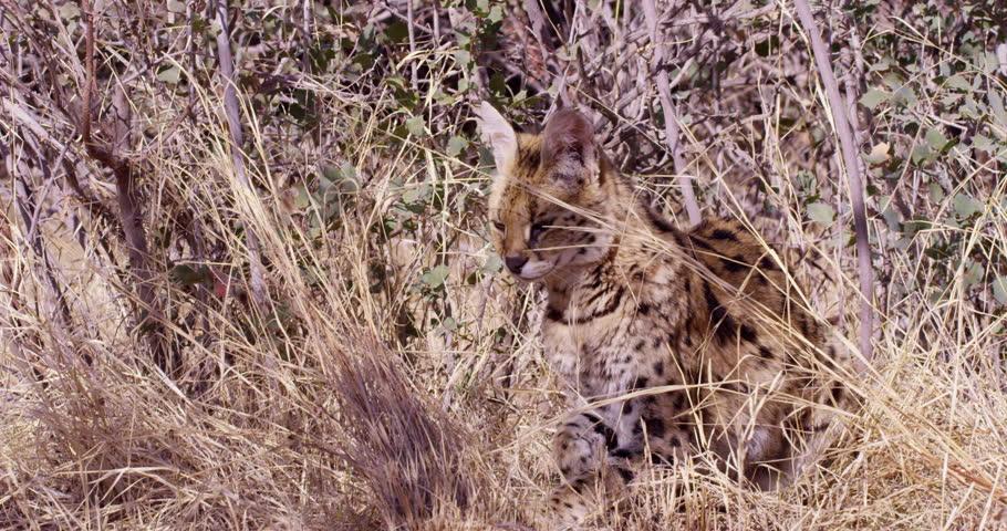 Header of African wild cat