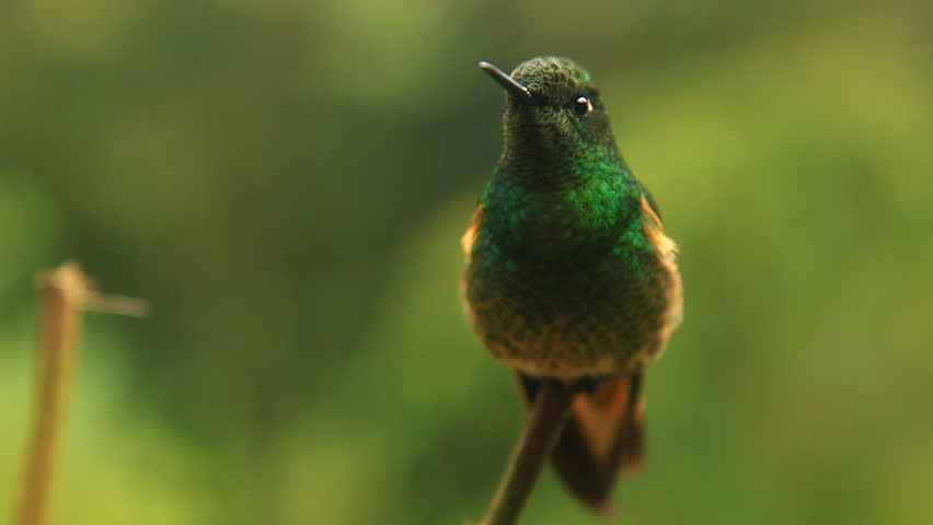 Perching hummingbird coiming in to focus, South America | Shutterstock HD Video #1009370120