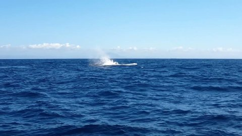 Amazing Humpback Whale jumping (Megaptera novaeangliae) in bay of Vitória, Espírito Santo, Brazil. Blue sky and sea.