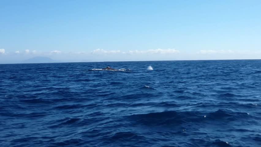Humpback Whale (Megaptera novaeangliae) swim in bay of Vitória, Espírito Santo, Brazil. Blue sky and sea.