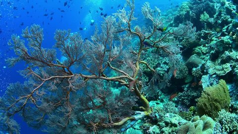 Large sea fan and marine life in Wakatobi National Park, Indonesia.