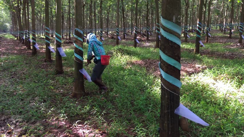 BA RIA - VUNG TAU, VIETNAM - JUNE 2017: A young woman works at a plantation of rubber trees (Hevea brasiliensis).