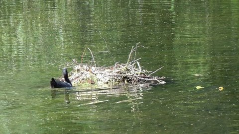 Natatorial birds of Eurasian coot builds nests for the ptets.The Eurasian coot Fulica atra, also known as the common coot, is a member of the rail and crake bird family Rallidae