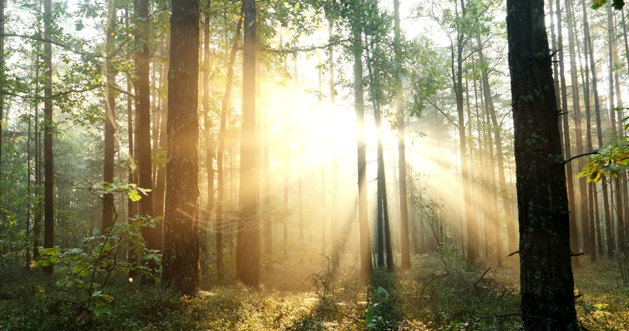 Sun is shining through the trees in a young forest -- timelapse