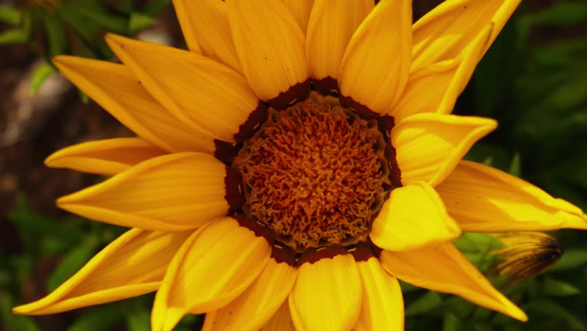 Yellow sunflower flower opening timelapse, zoom in. 4K UHD.