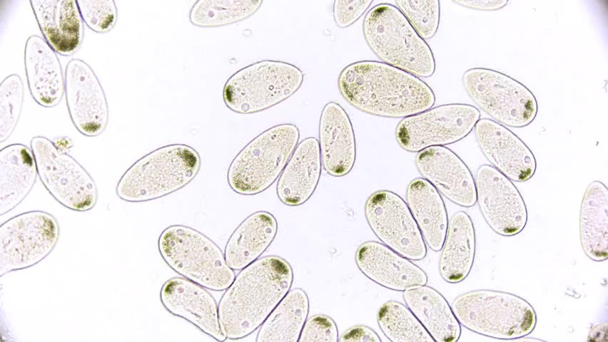Paramecium - microcosmos - microorganism - life in a drop of water under a microscope | Shutterstock HD Video #1009632290