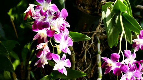 Orchid flower. Royalty high quality free stock footage of beautiful pink orchid flower. The Orchidaceae are a diverse and widespread family of flowering plants